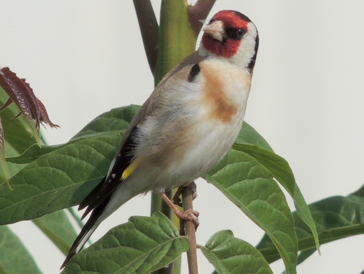 Distelfink, European Goldfinch, Carduelis carduelis