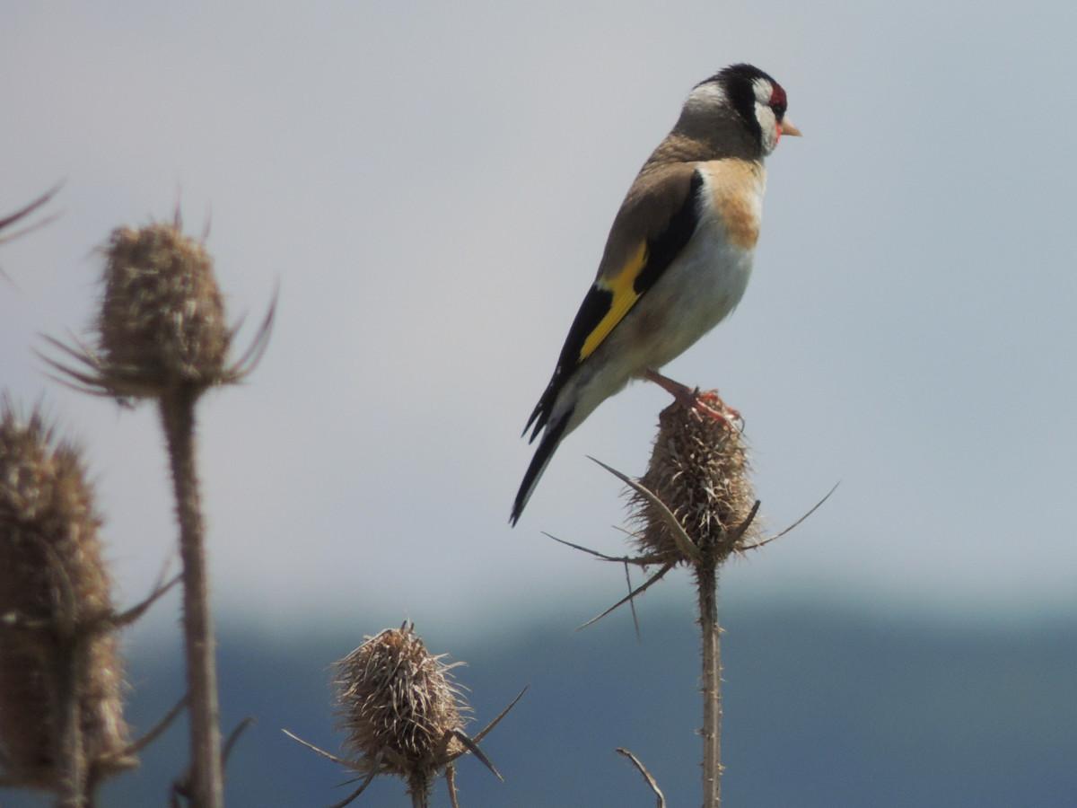 Distelfink, European Goldfinch, Carduelis carduelis