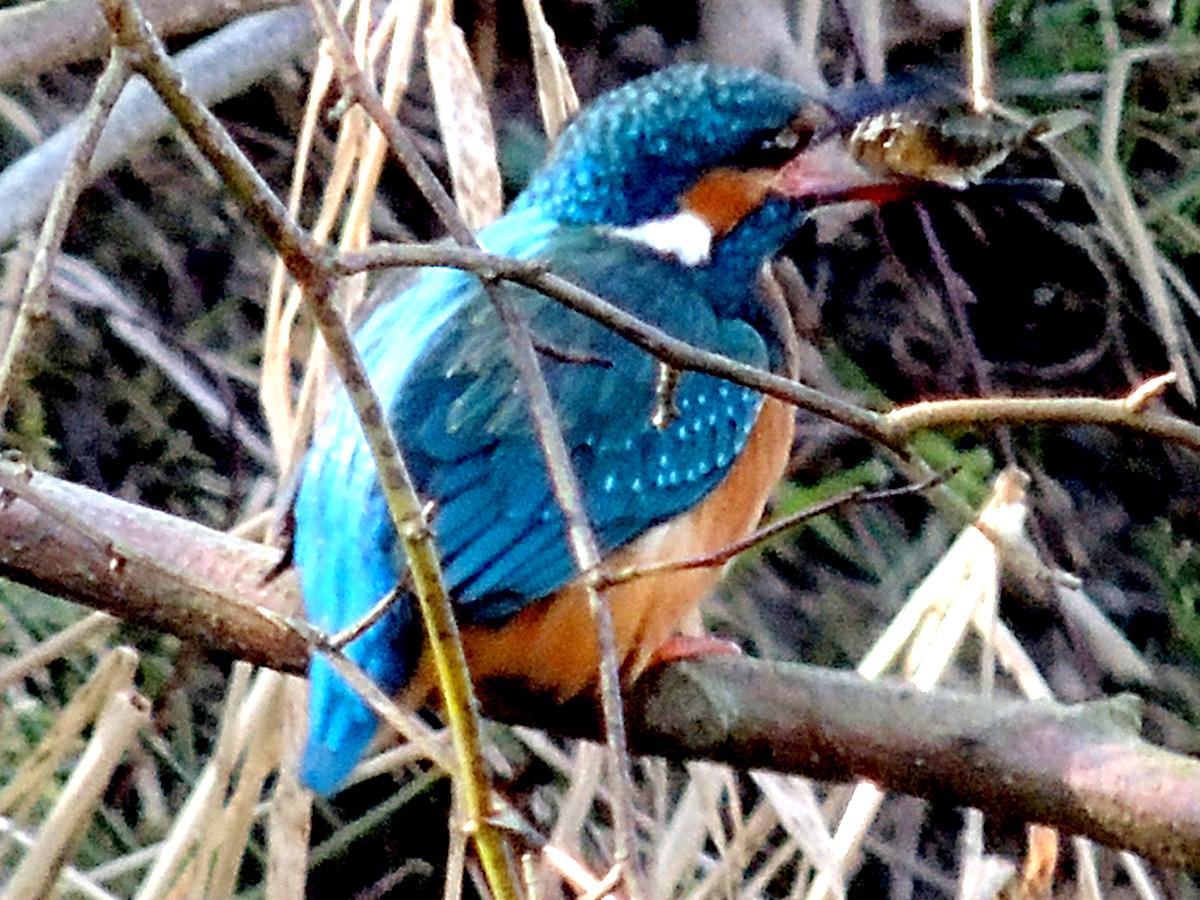 Eisvogel, Common Kingfisher, Alcedo atthis