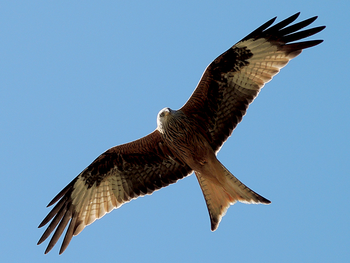 kite bird The red kite is a striking bird of prey with deep red plumage, a grey head and light eyes.